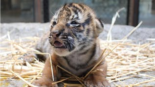 Name For New Baby Tiger At Tulsa Zoo To Be Announced Soon