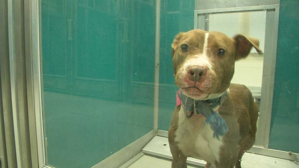 Dogs Rescued From OKC Dogfighting Ring Still In Need Of Forever Homes