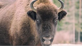 Driver Speaks Out After Striking Bison In Norman