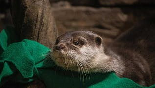 Otters Test Positive For COVID-19 At Georgia Aquarium